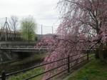 4km桜ランニング
